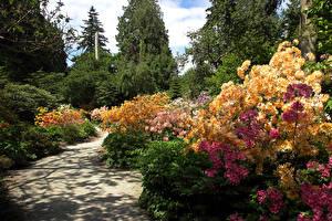 Fotos Kanada Parks Rhododendren Vancouver Strauch Stanley Park Natur