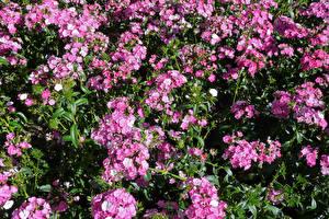 Bilder Nelken Viel Rosa Farbe Blumen