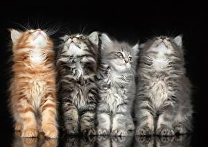 Desktop hintergrundbilder Katze Vier 4 Schwarzer Hintergrund Flaumig ein Tier