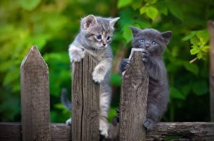 Hintergrundbilder Hauskatze Kätzchen Zaun Aus Holz Zwei ein Tier