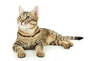 Hintergrundbilder Hauskatze Weißer hintergrund Liegt Starren ein Tier
