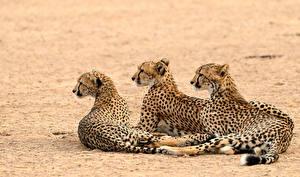 Hintergrundbilder Gepard Drei 3 ein Tier