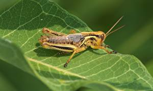 Wallpaper Closeup Grasshoppers Insects Foliage Animals