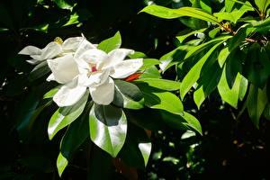 Photo Closeup Magnolia Leaf White Flowers