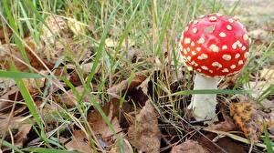 Fotos Nahaufnahme Pilze Natur Wulstlinge Blatt Gras Natur