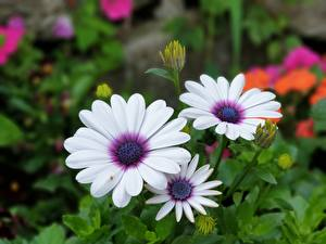 Bilder Großansicht Drei 3 Weiß Osteospermum Blumen