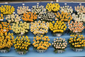 Bilder Narzissen Viel Gelb Blumen