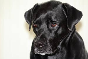 Fotos Hund Großansicht Kopf Starren Schwarz Boxador ein Tier