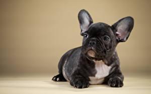 Hintergrundbilder Hund Französische Bulldogge Schwarz Tiere
