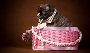 Desktop hintergrundbilder Hund Schmuck Schachtel Welpe Tiere