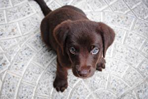 Pictures Dogs Puppy Labrador Retriever Staring From above Animals
