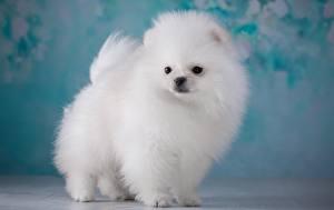 Hintergrundbilder Hund Weiß Spitz Flauschige
