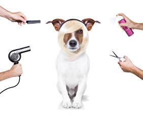 壁纸,,犬,白色背景,傑克羅素㹴,发型,手,風筒,動物