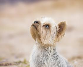 Fotos Hund Yorkshire Terrier Kopf Tiere