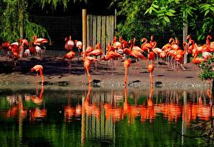Hintergrundbilder England Vögel Viel Wasser Flamingos Flamingo Park Chester Zoo ein Tier