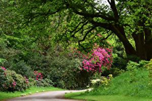 Fotos England Parks Rhododendren Strauch Bäume Ramster Gardens Surrey Natur
