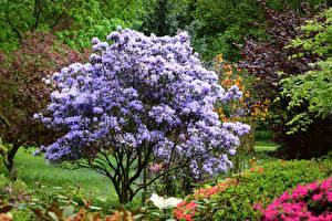 Bilder England Park Rhododendren Strauch Ramster Gardens Surrey Natur