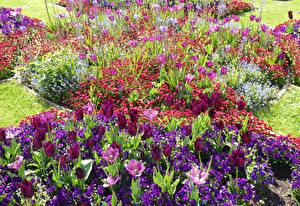 Papéis de parede Inglaterra Parque Tulipas Bellis Primula Wrest Park Bedfordshire