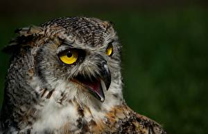 Pictures Eurasian eagle-owl Owl Bird Closeup Beak Head animal