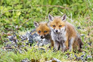 Pictures Foxes Cubs Two Grass Animals