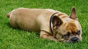 Bilder Französische Bulldogge Hunde Gras Liegen