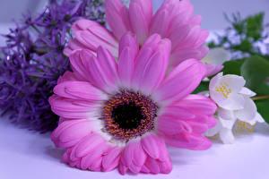 Bilder Gerbera Großansicht Rosa Farbe