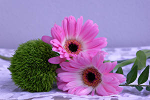 Hintergrundbilder Gerbera Nahaufnahme 2 Rosa Farbe