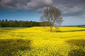 Hintergrundbilder Deutschland Felder Raps Bäume  Natur