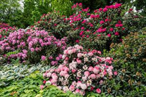 Papéis de parede Alemanha Rododendro Muitas Arbusto Berlin Gardens Flores