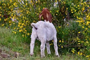 Fotos & Bilder Hausziege Ziegen Strauch Gras Hinten Tiere