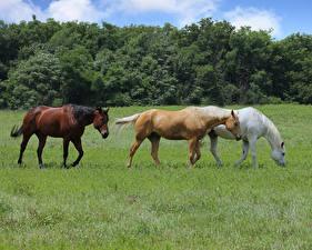 Tapety na pulpit Koń Łąki Trzy Trawa Zwierzęta