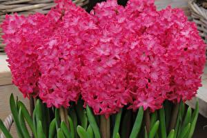 Bilder Hyazinthen Großansicht Rosa Farbe Blumen