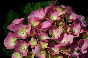 Bilder Hortensien Großansicht Viel Rosa Farbe