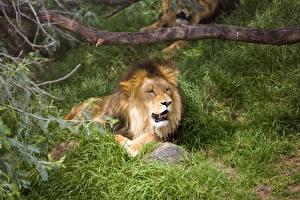 Fotos Löwe Große Katze Gras Hinlegen