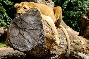 Fotos Löwe Baumstamm Pfote Liegen Ruhen Holzstamm Tiere