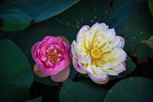 Hintergrundbilder Lotus Großansicht Zwei Von oben Rosa Farbe Blumen