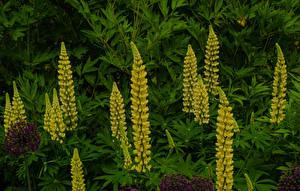 Fotos & Bilder Lupinen Gelb Blumen