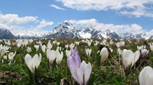 Fotos Gebirge Krokusse Schweiz Schnee Alpen Blumen