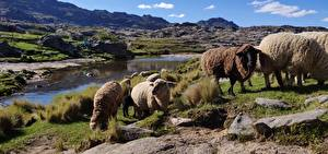 Pictures Mountains Stones Sheep Argentina Grass Herd province of Cordoba Animals