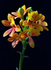 Bilder Orchideen Großansicht Schwarzer Hintergrund Blütenknospe Epidendrum Blüte