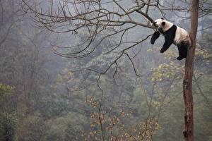 Fonds d'écran Pandas Branche Etre couché Dormir Le tronc Animaux