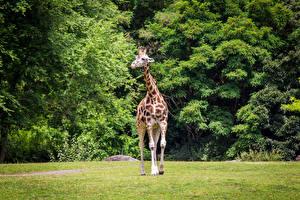 Hintergrundbilder Park Giraffe ein Tier