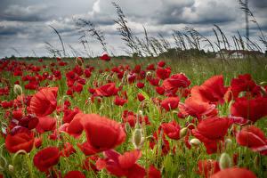 Fotos Mohnblumen Nahaufnahme Rot Blumen