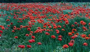 Fotos Mohnblumen Felder Blüte