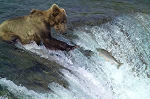 Fotos Flusse Fische Bären Braunbär Fischerei Wasserfall Spritzwasser Jagd Tiere