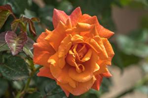 Bilder Rosen Großansicht Orange Blüte