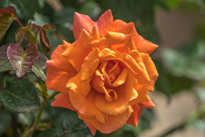 Wallpaper Roses Closeup Orange flower