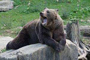 Fotos Steine Bären Braunbär Hinlegen Pfote Gähnende