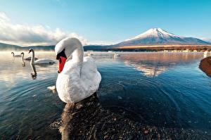 Fotos Schwäne Wasser Gebirge Vögel
