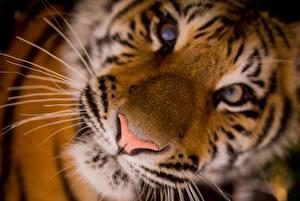 Hintergrundbilder Tiger Großansicht Nase Schnauze Schnurrhaare Vibrisse Blick ein Tier